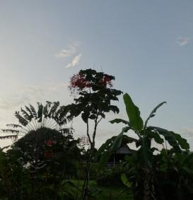 Maripasoula arbre du voyageur et autres
